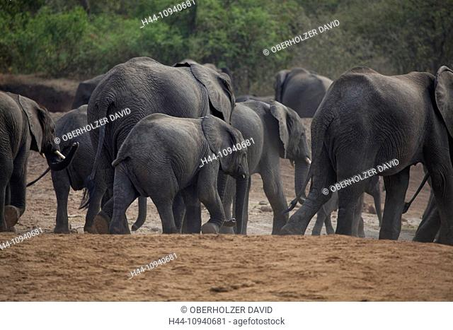 Africa, Uganda, East Africa, black continent, pearl of Africa, Great Rift, Queen Elisabeth, national park, nature, elephant, African elephant, mammal
