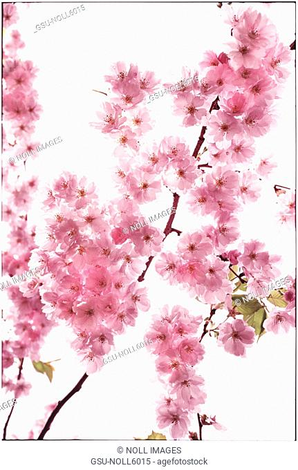 Blossom, Pink, Nature