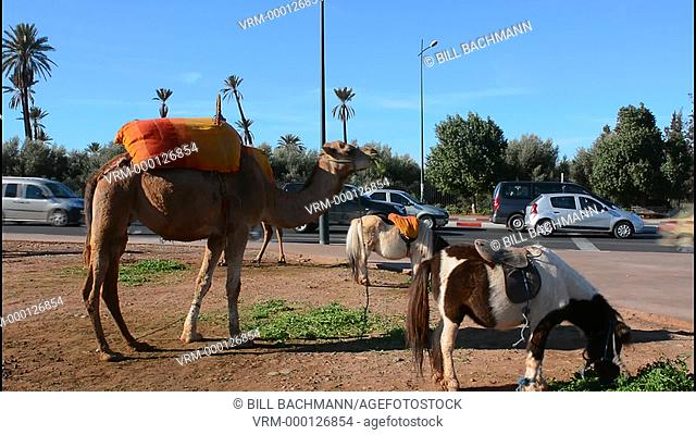 Marrakech Morocco close up of camel eating grass on street near the Mosque Koutoubia in city downtown