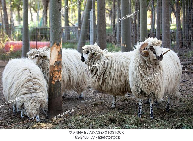 autoctonas Lebrijana Churra sheep, Andalucia, Spain, Europe