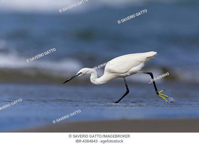 Little Egret (Egretta garzetta), chasing fish on the shore, Eboli, Campania, Italy
