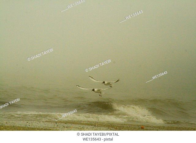 Birds flying by the seaside in a foggy weather in Iran