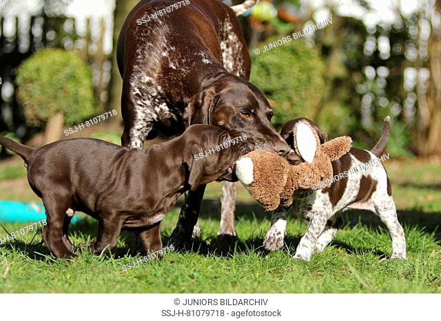 German Shorthaired Pointer. Mother (5 years old) playing with puppies (6,5 month old). Germany