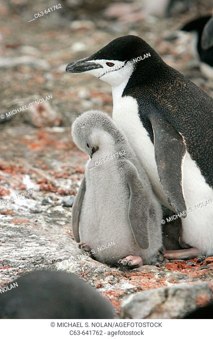 Chinstrap penguins (Pygoscelis antarctica) in their breeding and nesting grounds in and around the Antarctic Peninsula