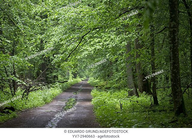Road in the heart of the forest. Bialowieza National Park. Bialowieza, Podlaquia, Poland, Europe