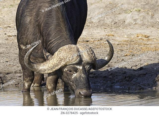 African buffalo (Syncerus caffer), adult male, drinking at a waterhole, Kruger National Park, South Africa, Africa