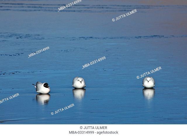 Bolivia, Los Lipez, Laguna Canapa, Andes gulls
