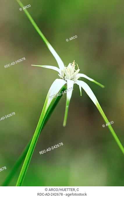White Star Sedge Everglades national park Florida USA Rhynchospora colorata White-topped Sedge Starrush Whitetop