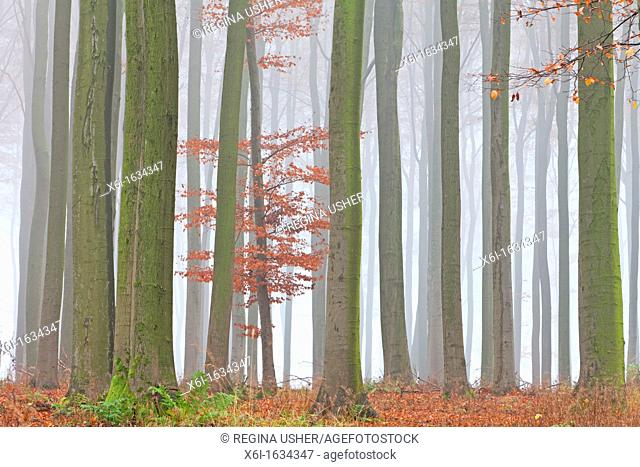 Beech Tree Fagus sylvatica, Woodland and Autumn Mist, Hessen, Germany