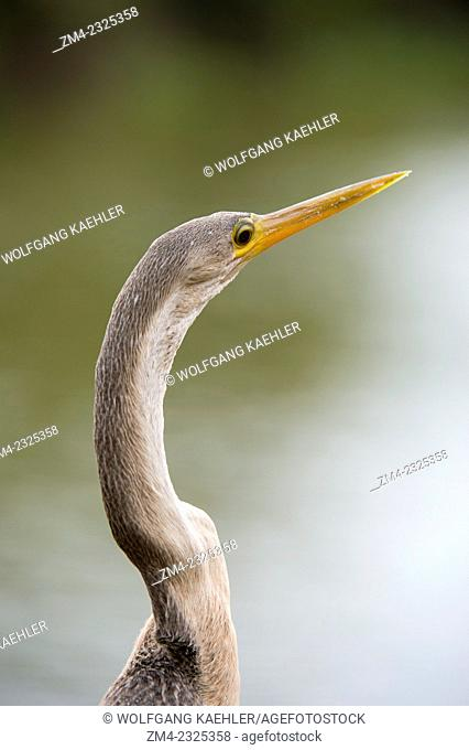 Close-up of an Anhinga (Anhinga anhinga) along the Pixaim River in the northern Pantanal, Mato Grosso province of Brazil