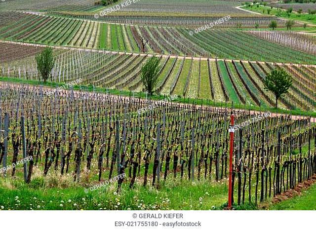 Weinbau in der Pfalz bei Edenkoben