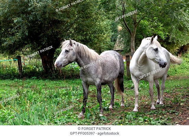 CAMARGUE HORSES, REGIONAL NATURE PARK OF LES BOUCLES DE LA SEINE, LE MARAIS VERNIER (27), EURE