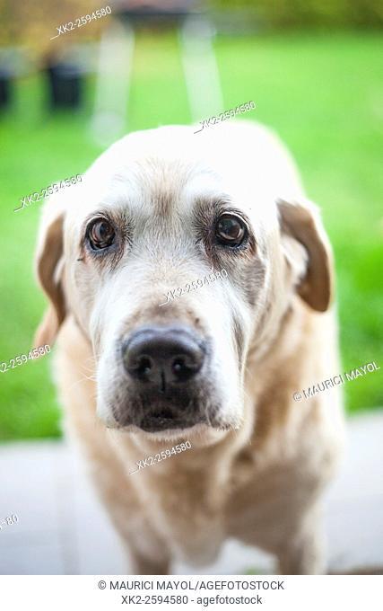 Golden Labrador expression