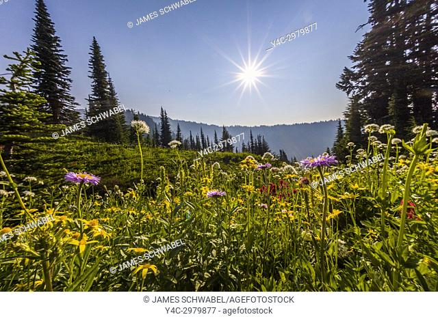 Summer wildflowers in Paradise section of Mount Rainier National Park in Washington State in the United States