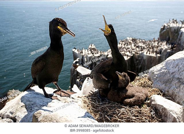 Common Shags or European Shags (Phalacrocorax aristotelis) pair with chick at nest, Inner Farne, Farne Islands, Northumberland, England, United Kingdom