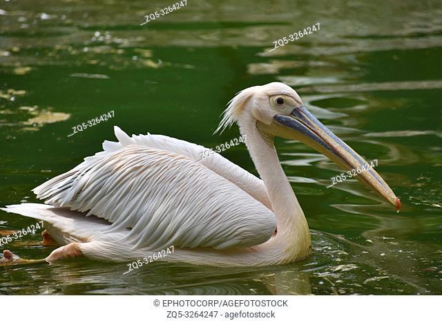 Rosy Pelican, Pelecanus onocrotalus, Hyderabad, Telanagana, India