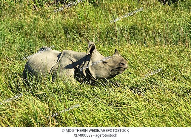 Indian Rhinoceros or Great One-horned Rhinoceros (Rhinoceros unicornis) in elephant grass, Endangered, Kaziranga National Park, India