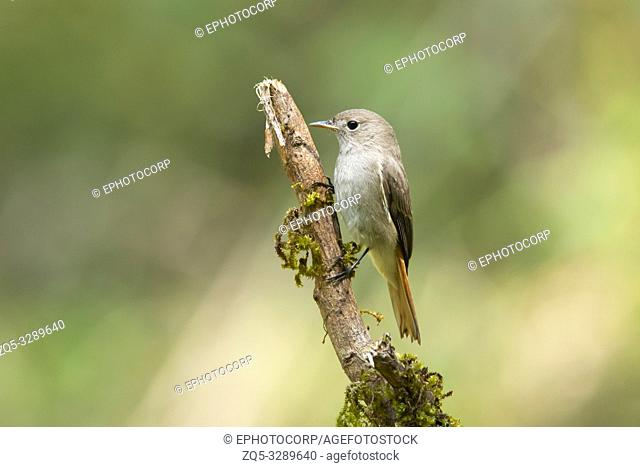 Rusty-tailed flycatcher, Ficedula ruficauda, female, Western Ghats, India