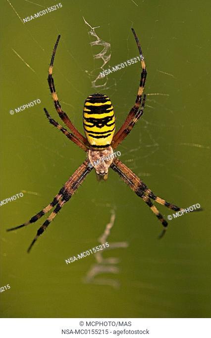Zebra Spider Wasp spider