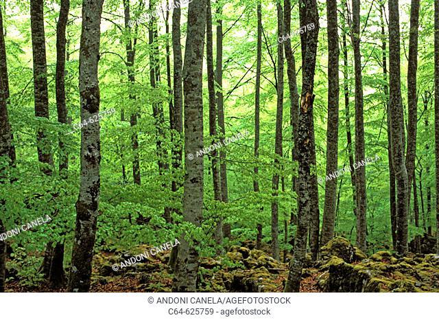 Beechwood (Fagus sylvatica). Basque Country. Spain