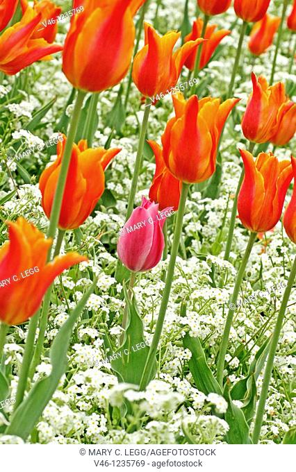 Red tulips in a public garden with white forget-me-not as gound cover