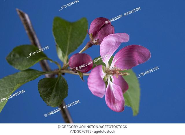 A studio macro shot of a flower from the crab apple tree