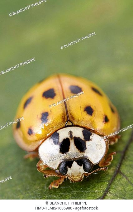 France, Coleoptera, Coccinellidae, Harlequin ladybird, Multicolored Asian lady beetle or Halloween lady beetle (Harmonia axyridis), 5 mm, portrait