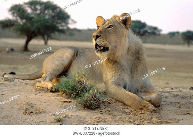 lion (Panthera leo), lion with morning sun, young male, South Africa, Kalahari, Kalahari NP