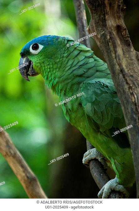 The Blue-headed Parrot Amazona farinosa is a bird that lives in the jungles and mangroves of South America, Central America and Mexico