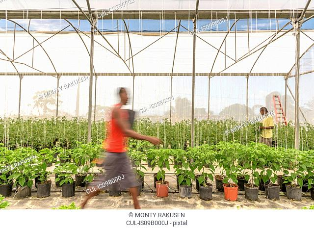 Workers in Hydroponic farm in Nevis, West Indies