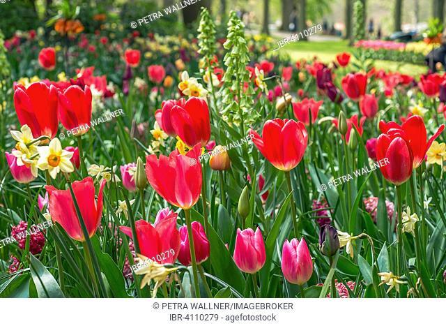 Flowerbed with red tulips (Tulipa), Keukenhof, Lisse, The Netherlands