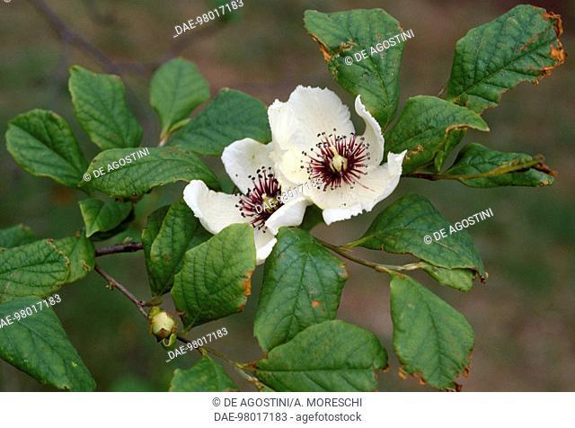 Silky Camellia or Virginia Stewartia (Stewartia malacodendron), Theaceae