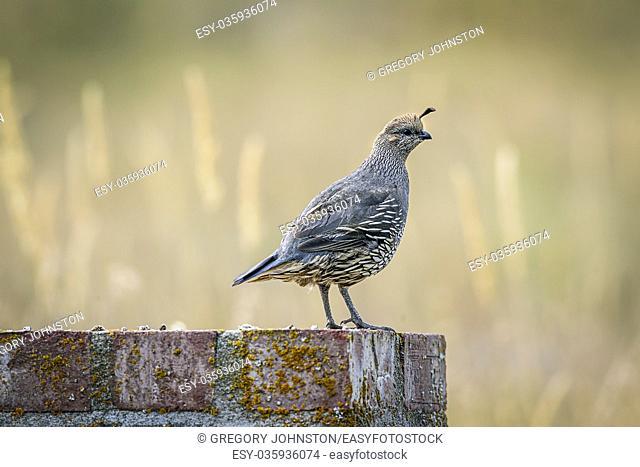 A small cute California quail perched on a brick structure near Hauser Lake, Idaho