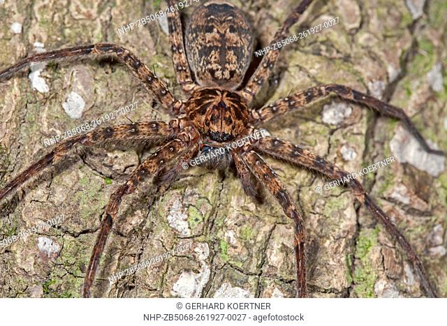 Huntsman spider in australia Stock Photos and Images | age fotostock