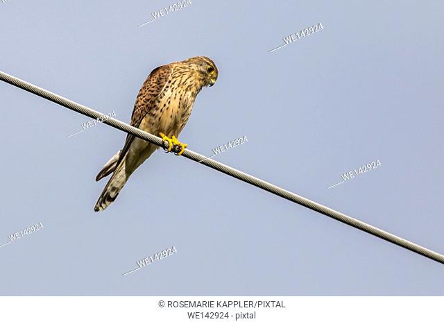 Germany, saarland, homburg - A common krestel on a powerline looks for prey
