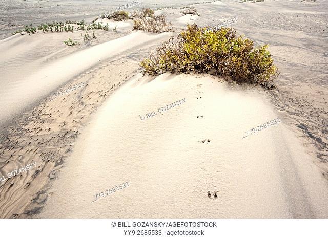 Animal Tracks in Dunes on South Padre Island, Texas, USA
