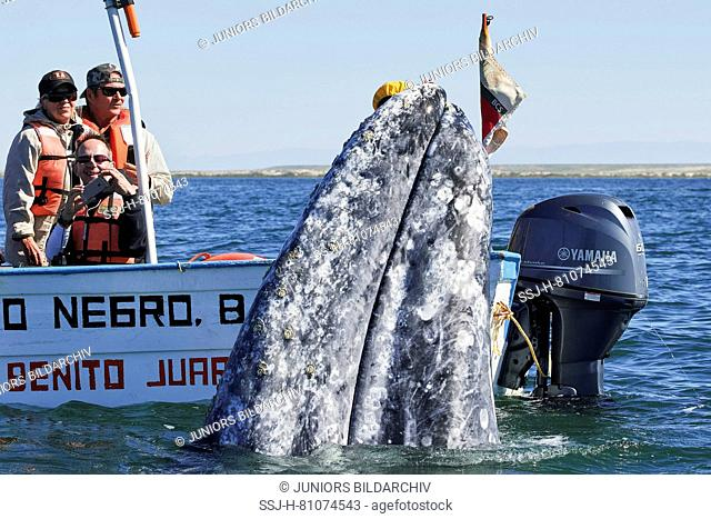 Tourists looking at Gray Whale (Eschrichtius robustus) next to a boat. Baja California, Mexico