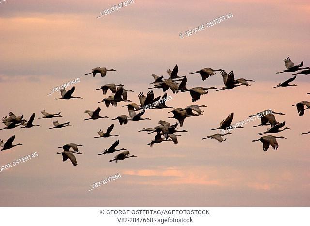 Sandhill crane in flight, Crex Meadows Wildlife Area, Wisconsin