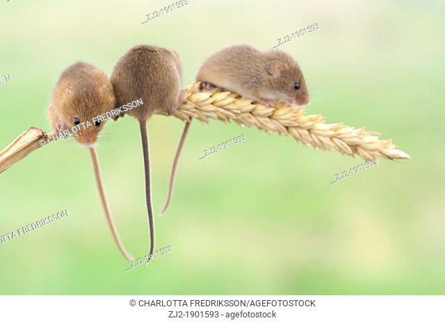Trio of harvest mice on corn of wheat