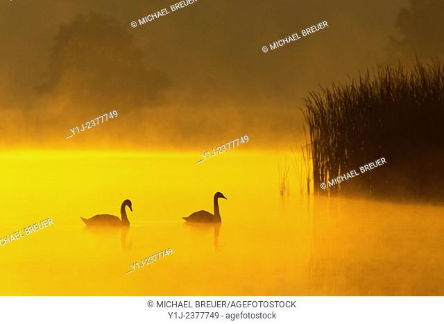 Mute Swans (Cygnus olor) on Misty Lake at Sunrise, Saxony, Germany, Europe