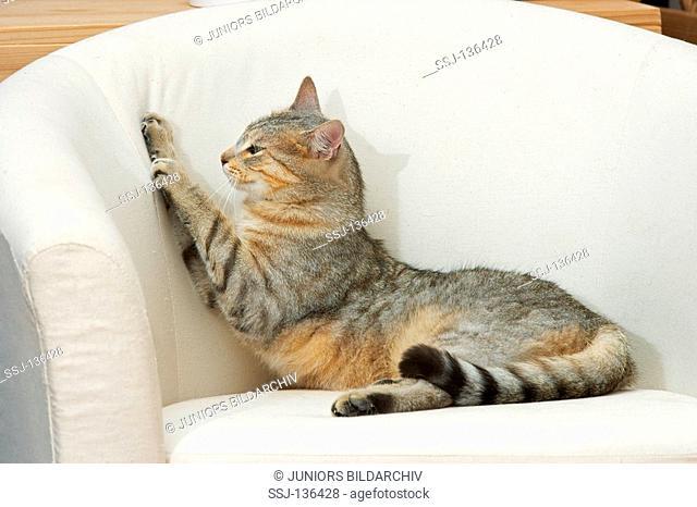 bad habit : domestic cat - scratching at chair restrictions: Tierratgeber-Bücher / animal guidebooks