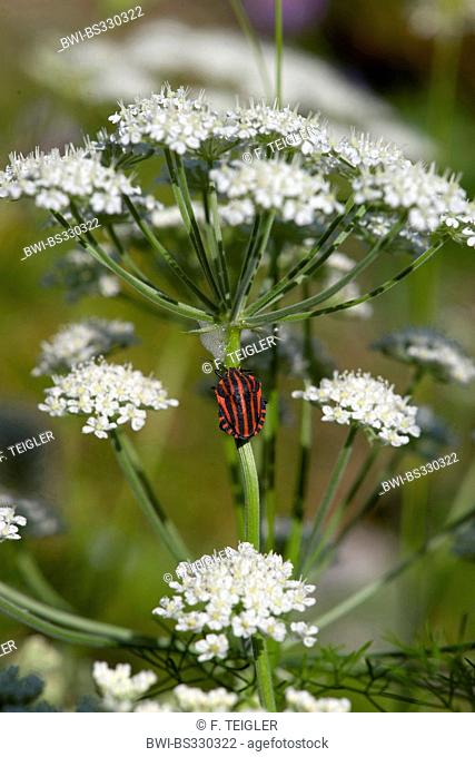 candy carrot (Athamanta cretensis), blooming, with bug, Graphosoma lineatum, Germany