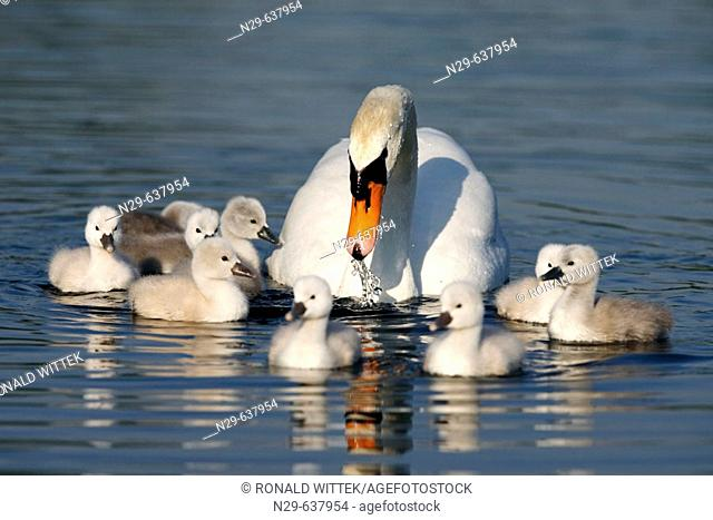 Mute Swan (Cygnus olor) with chicks. Germany
