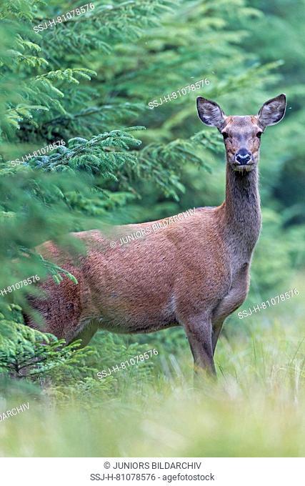 Red Deer (Cervus elaphus). Attentive hind standing at the forest edge. Denmark