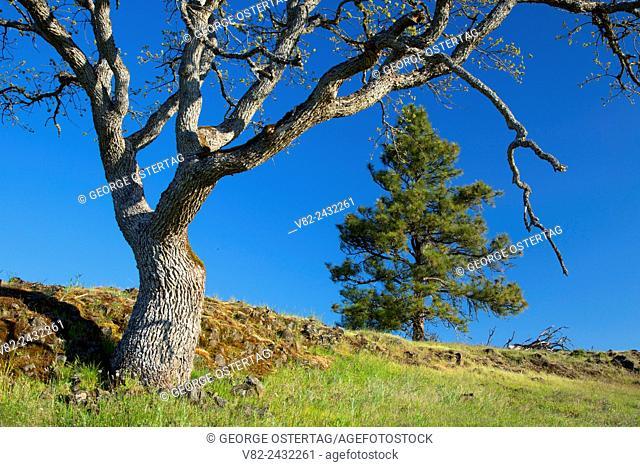 Oregon white oak woodland, Catherine Creek Day Use Area, Columbia River Gorge National Scenic Area, Washington