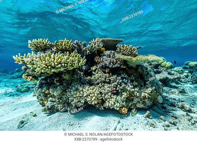 Underwater view of Honeymoon Bommie, south end of Ribbon 9 Reef, Great Barrier Reef, Queensland, Australia