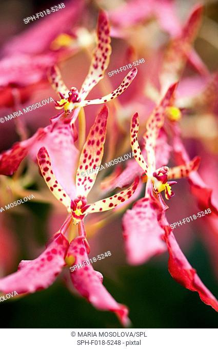 Pink orchid (Renanthera monachica ) flowers