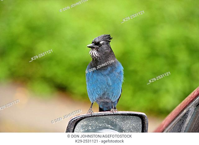 Stellar's Jay (Cyanocitta stelleri) Tame individual begging for handouts while perching on an automobile, Bijou Falls Provincial Park, British Columbia, Canada