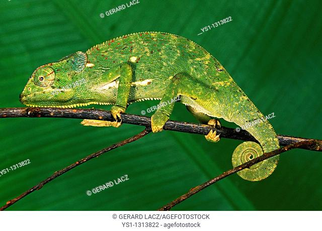 Flap-necked Chameleon (Chamaeleo dilepis), adult on branch, Madagascar
