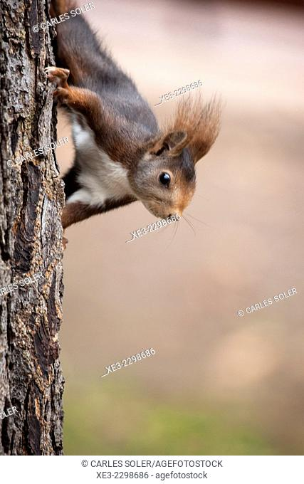 Madrid, El Retiro Park, Squirrel on tree trunk